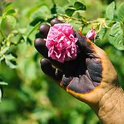 Kelaat M'Gouna rose harvest