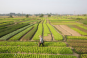 Irrigation of a vegetable field with water cans.