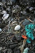 Bird egg, Ducie Island, Pitcairn Group<br />