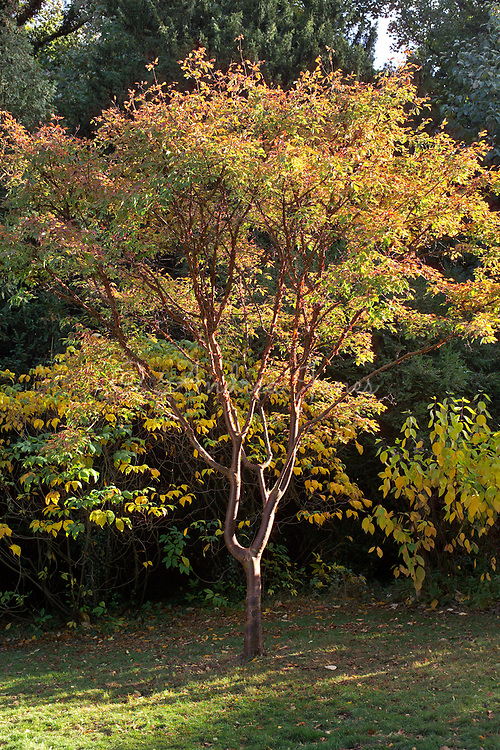 Acer griseum (Paperbark Maple) with autumn foliage