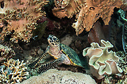 Hawksbill Turtle (Eretmochelys imbricata)<br /> Raja Ampat<br /> West Papua<br /> Indonesia<br /> Critically Endangered