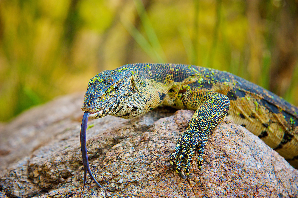 The Nile monitor (Varanus niloticus) is a large member of the monitor lizard family (Varanidae) found throughout much of Africa. Other common names include the African small-grain lizard, water leguaan or river leguaan.