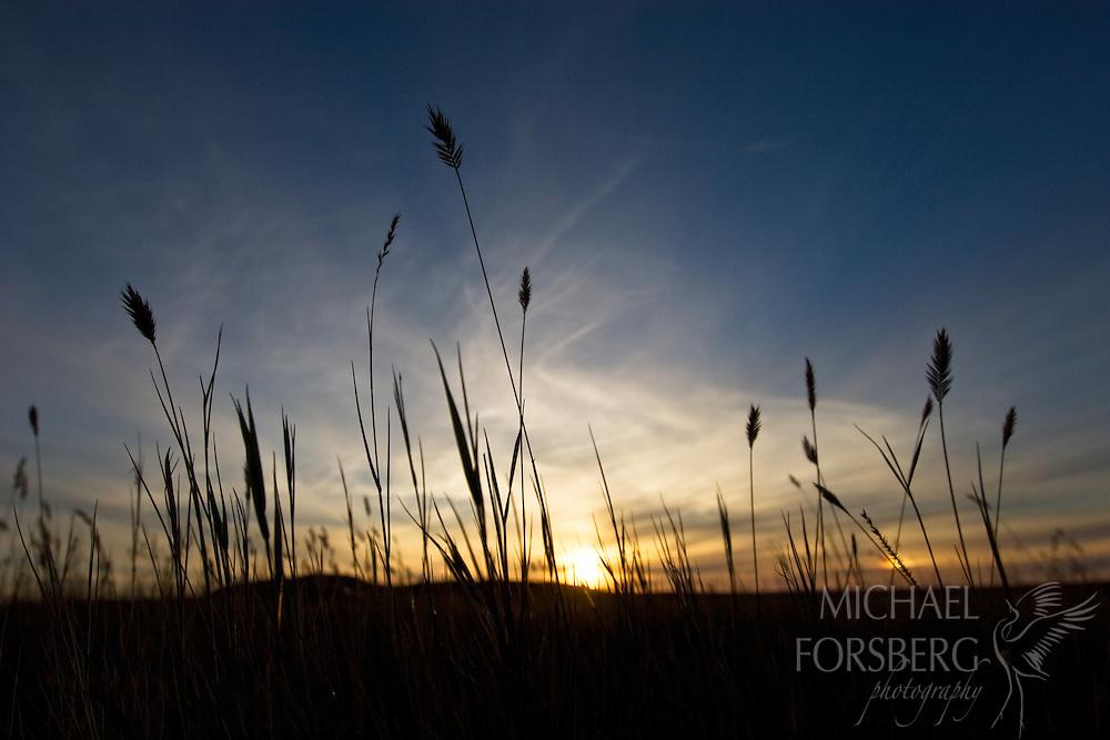 The sun sets behind wheatgrass on the Alberta prairie. Writing On Stone Provincial Park, Alberta, Canada.