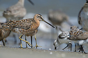 Short-billed Dowitcher (Limnodromus griseus)<br /> Little St Simon's Island, Barrier Islands, Georgia<br /> USA<br /> HABITAT & RANGE: Coastal waterways of USA, Central and northern South America