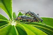Macro picture of beetle pairing on a flower   Makrobilde av en biller som parer på en blomster.