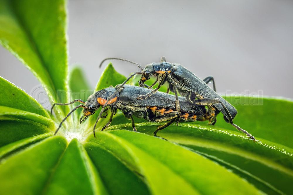 Macro picture of beetle pairing on a flower | Makrobilde av en biller som parer på en blomster.