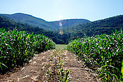WELLS,VT MATURE CORN FIELD IN THE MOUNTAINS