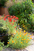 Californian poppies by a patio