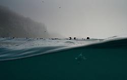Thick-billed Murre (Uria lomvia) in Spitsbergen, Svalbard