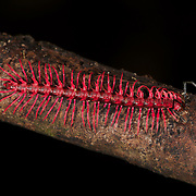 Shocking Pink Dragon Millipede