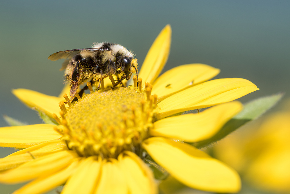 Bee on a yellow flower, Wallowa Valley, Oregon.