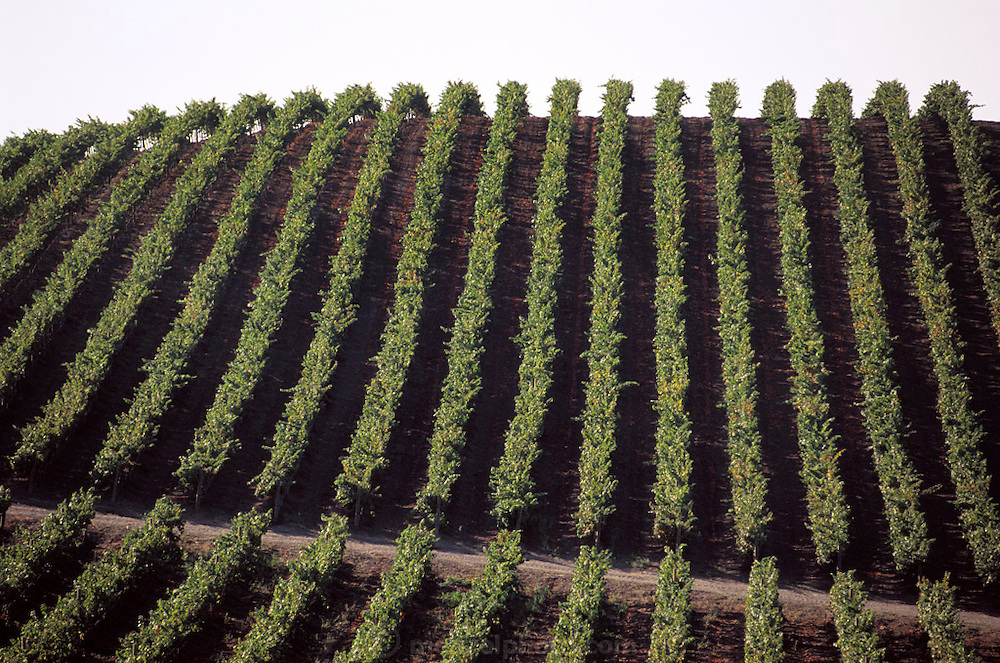 Napa Valley, California. Carneros region - rows of wine grapes.