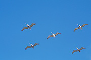 a group of gray pelicans flying in formation