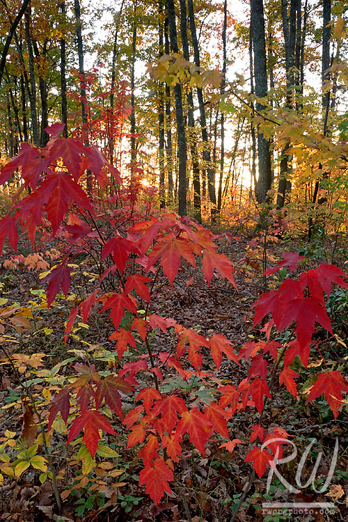 Big Leaf Maples in Fall, Red River Gorge Geological Area, Kentucky