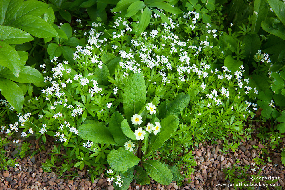 Common primrose with sweet woodruff. Primula vulgaris and Galium odoratum syn. Asperula odorata