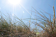 Dune grass on flared blue sky