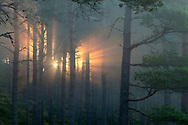 Sun splintering through pine forest at dawn, Strathspey, Cairngorms National Park, Scotland