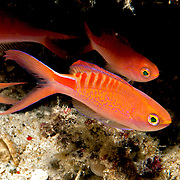 Lori's Anthias inhabit reefs. Picture taken Wetar, north of Alor, Indonesia.