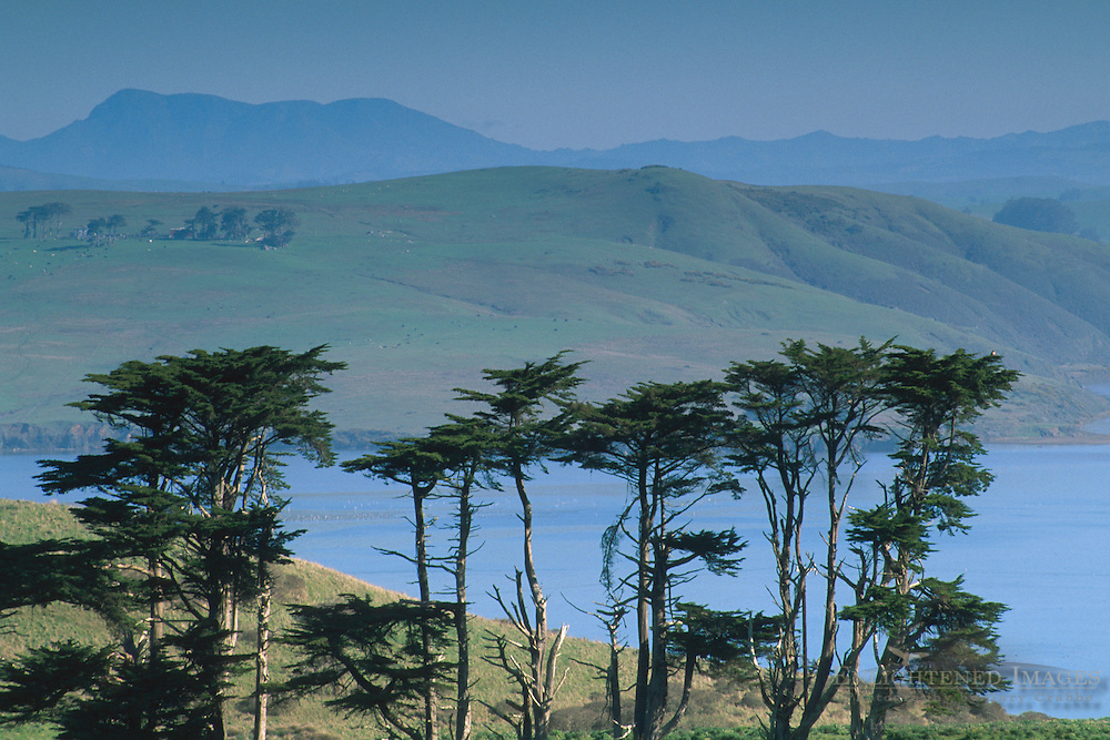 Monterey Cypress Trees (Cupressus macrocarpa) and hills aboveTomales Bay, Point Reyes Saeashore, Marin, California