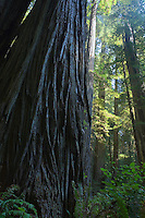 Base of a giant Redwood Tree looking up Redwood National Park Northern California Coast USA.