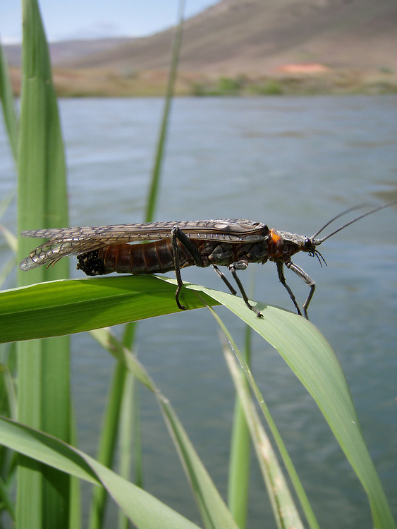 Stoneflies (salmon/golden) cling to vegetation along the Lower Deschutes River.
