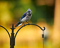 Blue Jay. Image taken with a Nikon D850 camera and 200 mm f/2 VR lens