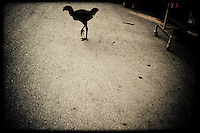 A chicken crosses the road in Pai, Thailand, SE Asia.