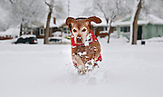 SHOT 3/23/16 5:33:28 PM - Tanner, an 11 year-old male Vizsla, plays in the snow at a local park after a late season snow storm in Denver, Co.  (Photo by Marc Piscotty / © 2016)