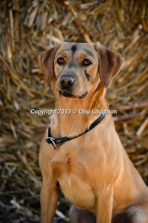 labrador retriever stock photo image