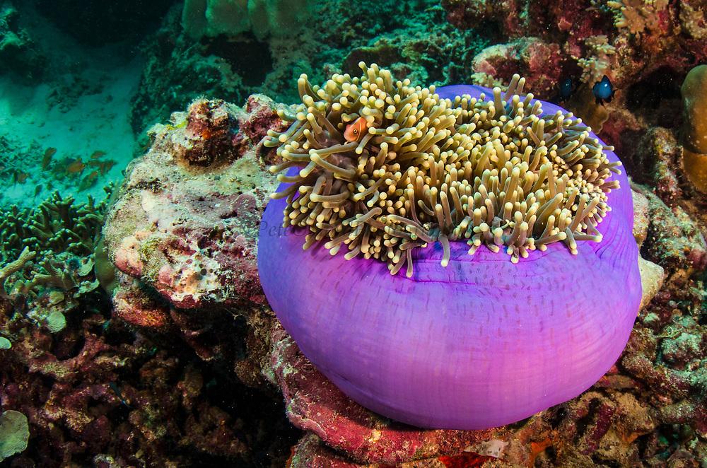 Pink Anemonefish (Amphiprion perideraion) &amp; Magnificent Sea Anemone (Heteractis magnifica)<br /> Raja Ampat<br /> West Papua<br /> Indonesia