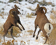 During the late autumn rut, adult bighorn rams establish a breeding hierarchy based on the outcome of their head to head combats. Prior to battle, rams rear up on their hind legs and face each other.