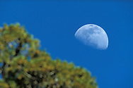 Moon over pines, General Grant Grove of Sequoia trees, Kings Canyon National Park, western Sierra, California