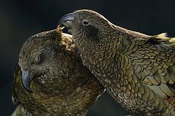 Kea (Nestor notabilis) Arthur's Pass, New Zealand | Kea oder Bergpapagei (Nestor notabilis); Keas verpaaren sich lebenslang mit dem selben Partner. Die gegenseitige Federpflege verstärkt diese Bindung. Arthur's Pass, Neuseeländische Alpen, Neuseeland.