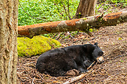 An American black bear (Ursus americanus) sleeps beneath a fallen tree in an animal sanctuary in Washington state. The black bear is the smallest, but most widespread bear species in North America.