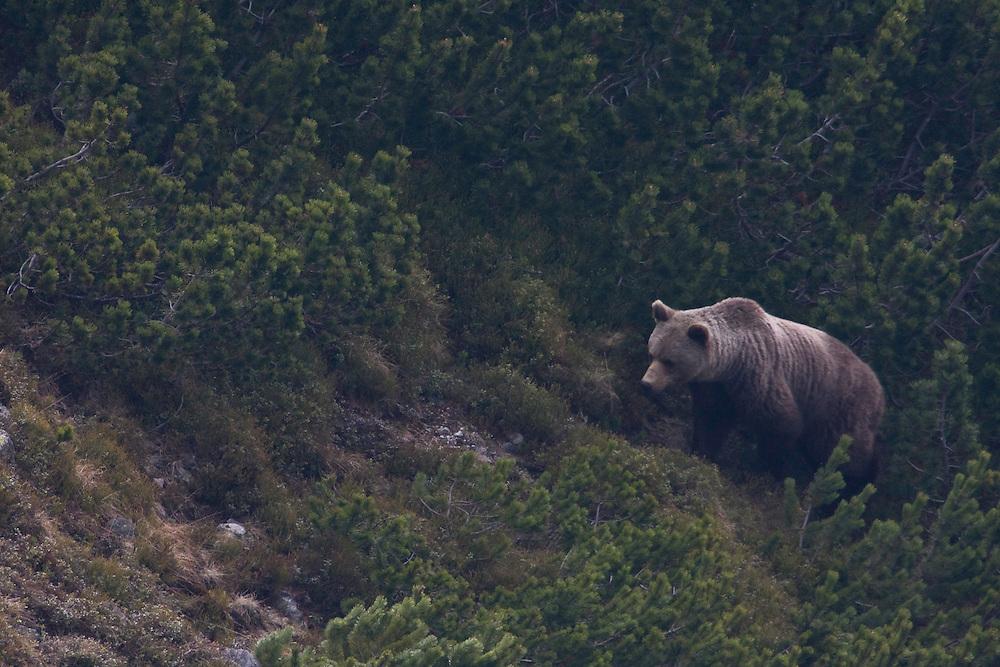 Wild European Brown bear (Ursus arctos), female emerging from Dwarf pines (Pinus mugo). Western Tatras, Slovakia. June 2009. Mission: Ticha