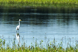 Great White Egret in Fulton County Illinois