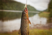 The brown trout, brunørret. Storsjøen i Selbu.