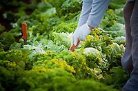 Farming in Oregon and Washington.  Farm workers pick lettuce.
