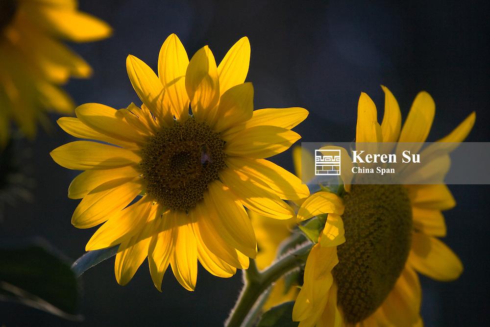 Sunflower, China