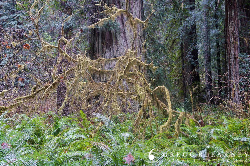 Prairie Creek Redwoods State Park - California