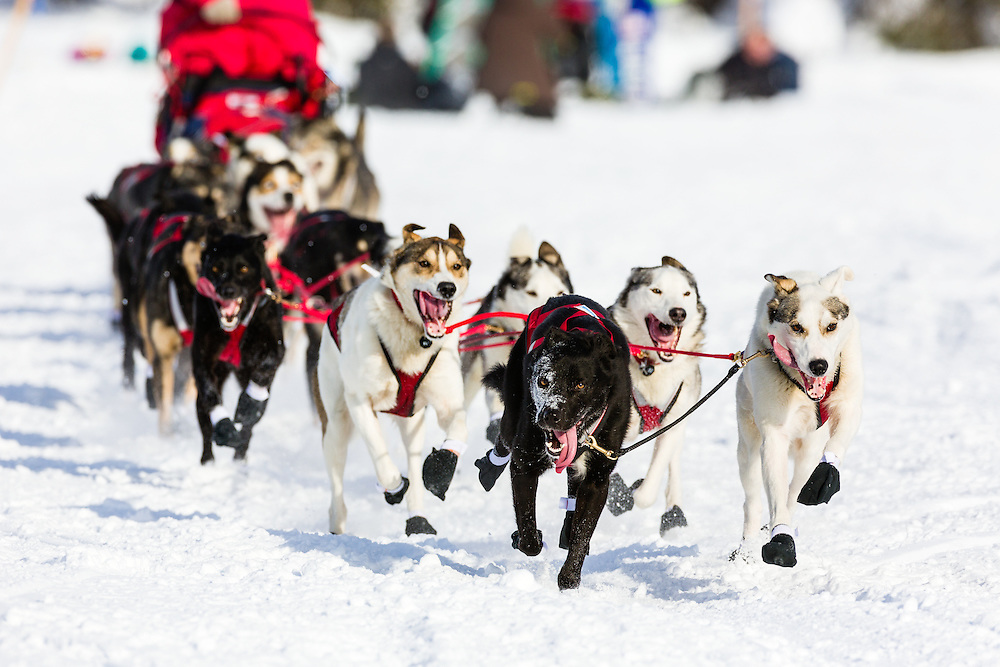 Musher Charley Bejna competing in the 41st Iditarod Trail Sled Dog Race on Long Lake after leaving the Willow Lake area at the restart in Southcentral Alaska.  Afternoon.