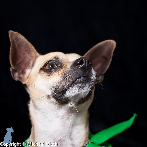 Sparky posing for his adoption portrait.  The green bandanna signifies that he's passed his basic training and is ready to be adopted.  Dog photographs by Michael Kloth.