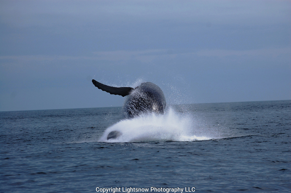 This is a photograph of a Baleen Whale breaching out of the water. Taken in Gloucester, Massachusetts.