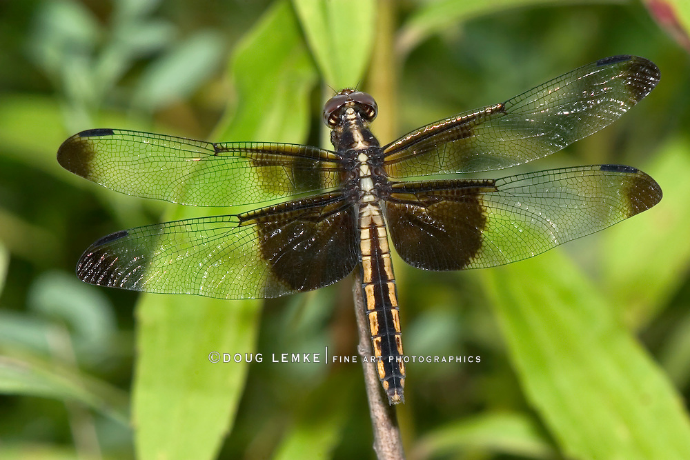 Dragonfly, Widow Skimmer, Libellula luctuosa, Top Down View