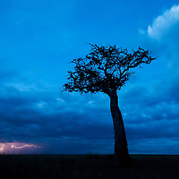 Africa, Kenya, Masai Mara Game Reserve, Lightning strikes from storm clouds over lone acacia tree on savanna at dusk