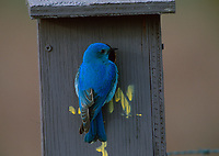 Mountain Bluebird (Sialia currucoides) perched at the entrance to a nest box near Calgary, Alberta, Canada