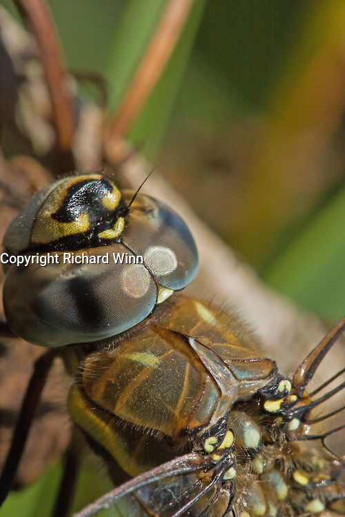 Closeup macro of the head of a Migrant Hawker Dragonfly (probably female), showing the eye detail.
