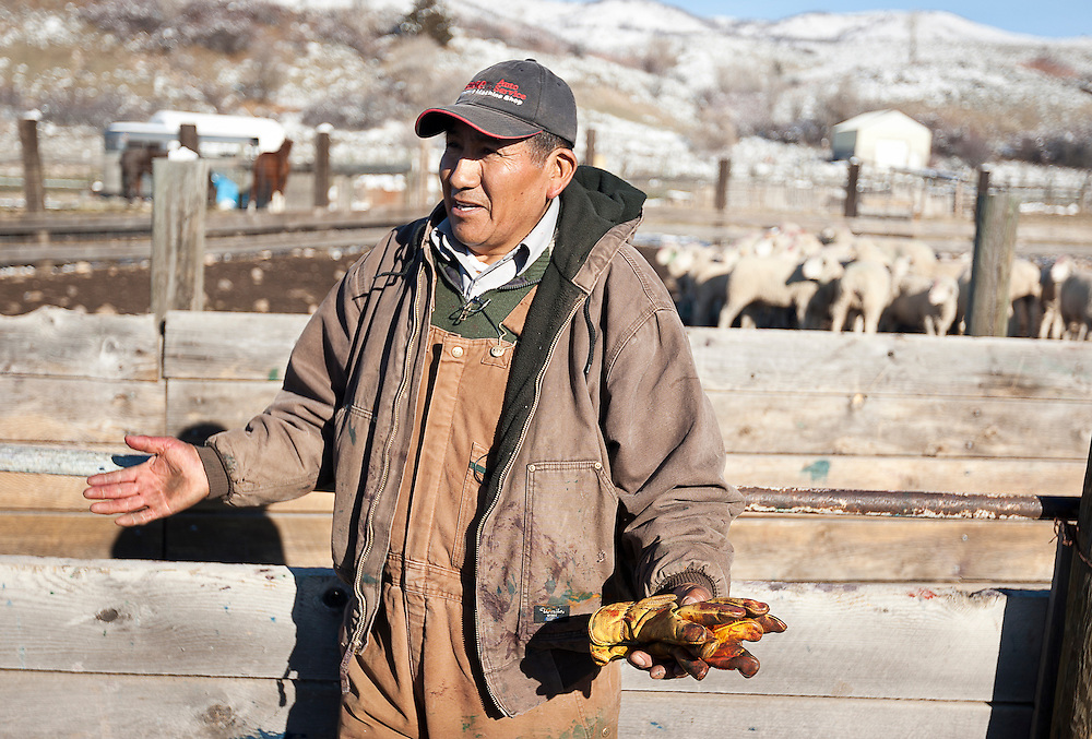 Peruvian sheepherder Toribio Yucra explains some of the work he performs at the ACE Land and Livestock sheep farm outside Morgan, Tuesday, Nov. 13, 2012.