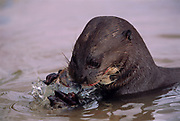 Giant Otter eating fish<br />