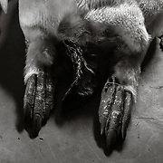 Emperor Penguin feet